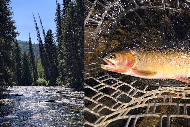 One river, so many species. Cutties, cutbows, rainbows, browns, brookies. And the lunker of the trip—a rando monster whitefish🙄 #flyfishing #wyorado #happyplace #tankseason