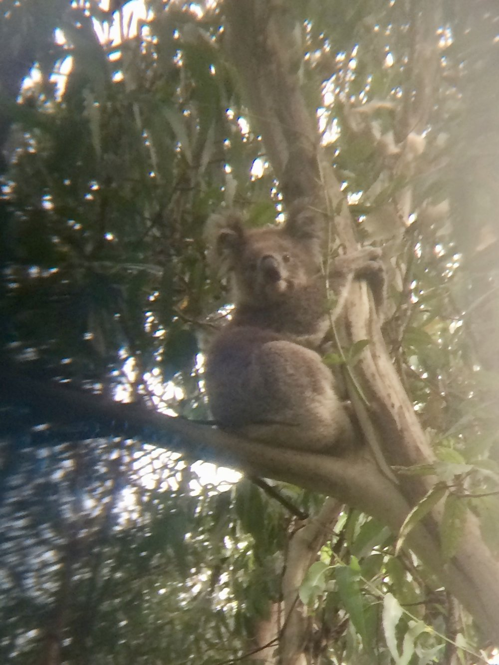 A great koala spotting in Otway - a cute and very awake koala! (photo taken through binoculars).