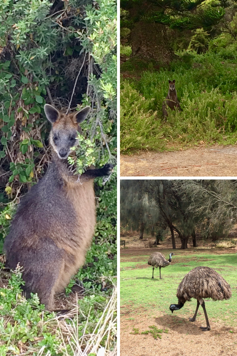 Wildlife spotting on the GOR; black wallabies and emus!