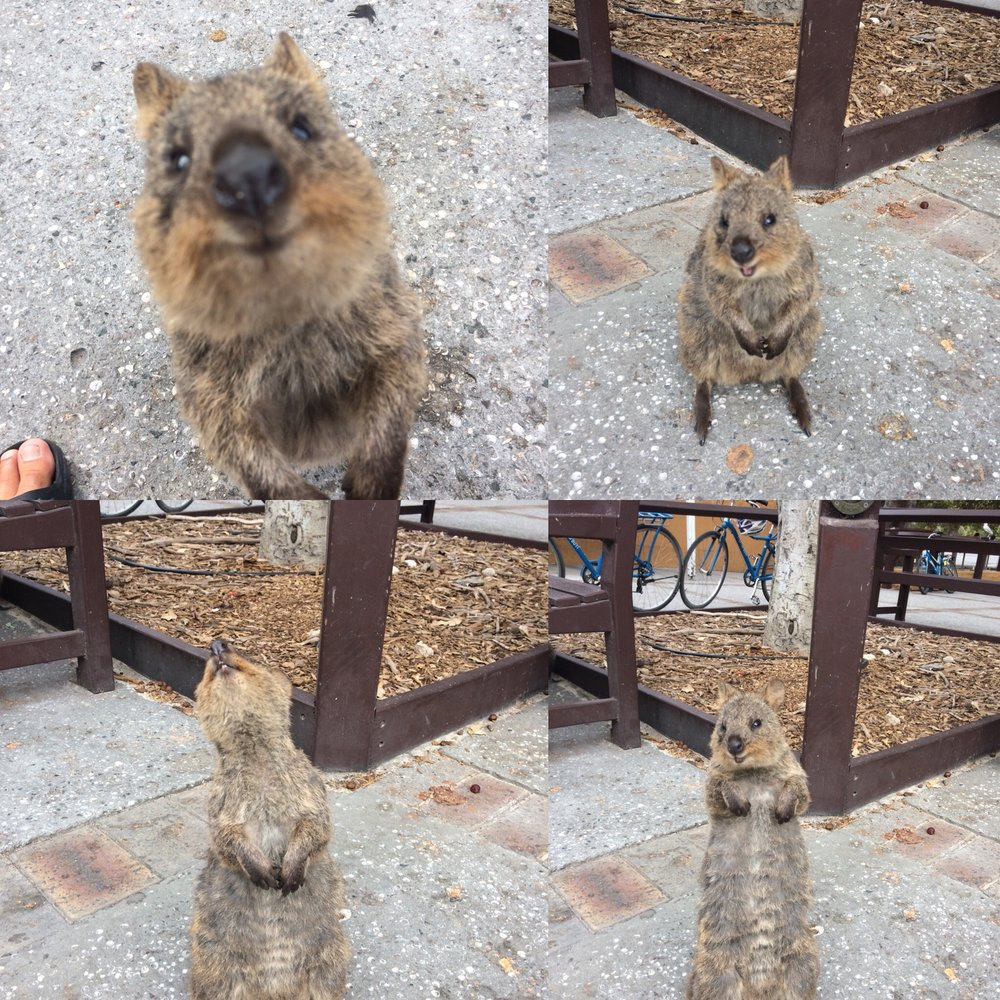 Introducing the quokka! Are they not the cutest little guys?