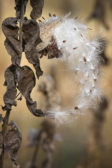 YR 26--Follett, Sandy, Yosemite Milkweed #1.jpg