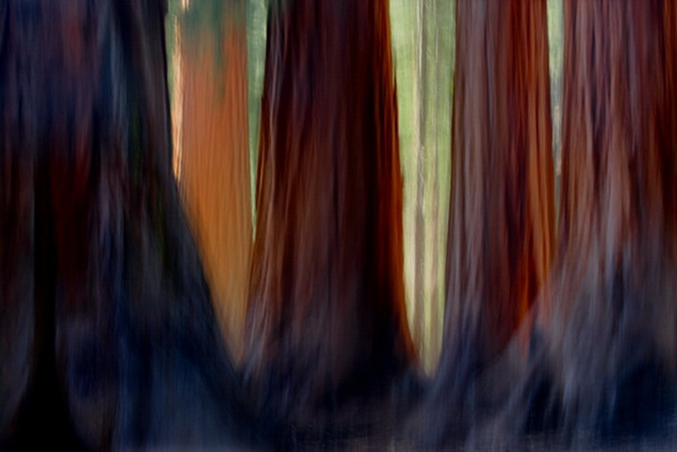 YR 24--Neill, William, Giant Sequoias.jpg