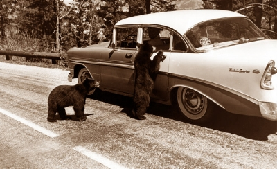 Bears in Yellowstone, begging for food, circa 1960