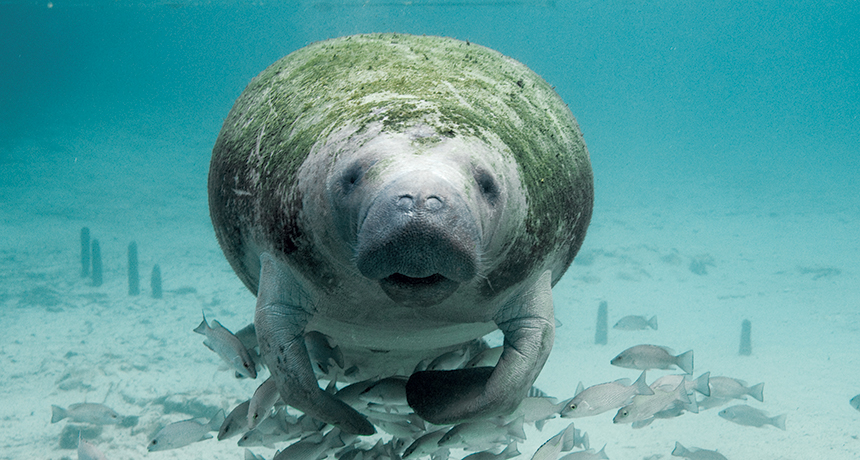 Swim with Manatee