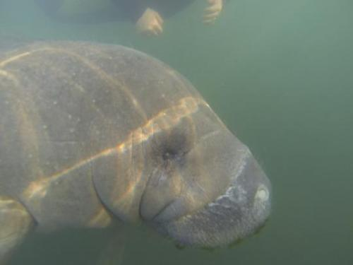 Manatees are an endangered species that can weigh 1,300 pounds or more.