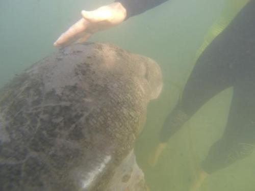You can pet manatees, provided they approach you first