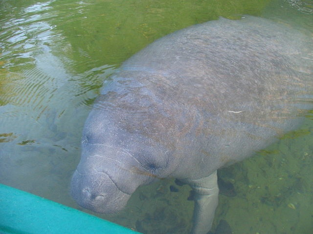 A curious young manatee inspects a kayak. Image from mwanner/Wikimedia Commons.
