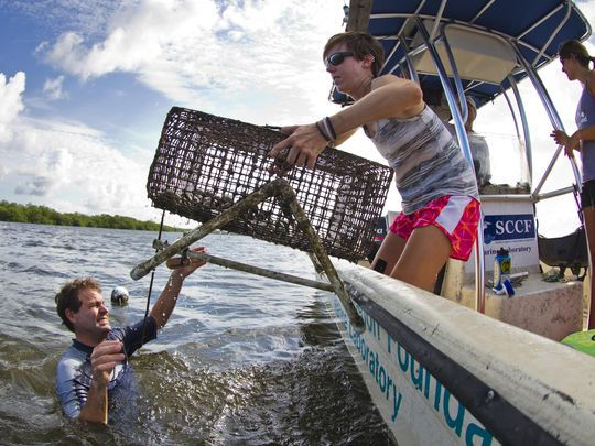 Eric Milbrandt, director of the Sanibel Captiva Conservation Foundation marine lab, hands Sarah Bridenbaugh, a research assistant for SCCF, one of their research cages used to monitor bay scallops in Tarpon Bay. (Photo: Ricardo Rolon/The News-Press)
