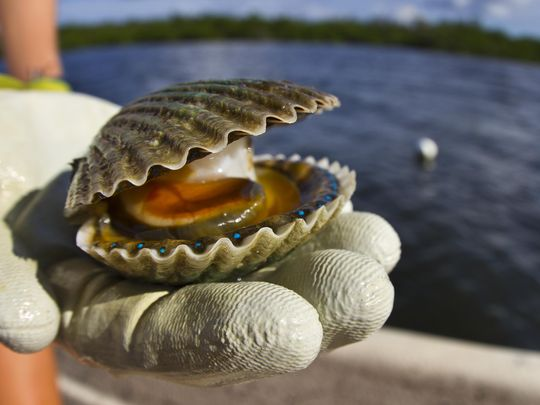 A bay scallop is displayed on Tarpon Bay off Sanibel Island during a research trip by the Sanibel Captiva Conservation Foundation as part of their scallop restoration efforts. The blue objects inside the shell are the scallop's eyes. (Photo: Ricardo Rolon/The News-Press)