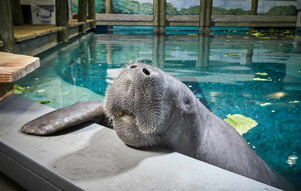 Snooty - world's oldest manatee
