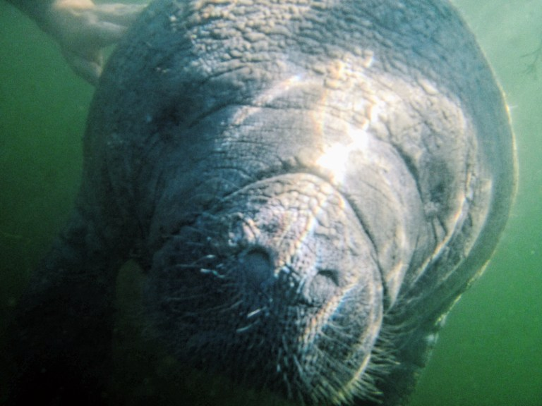 river ventures_sustainable swim with manatee_endless distances
