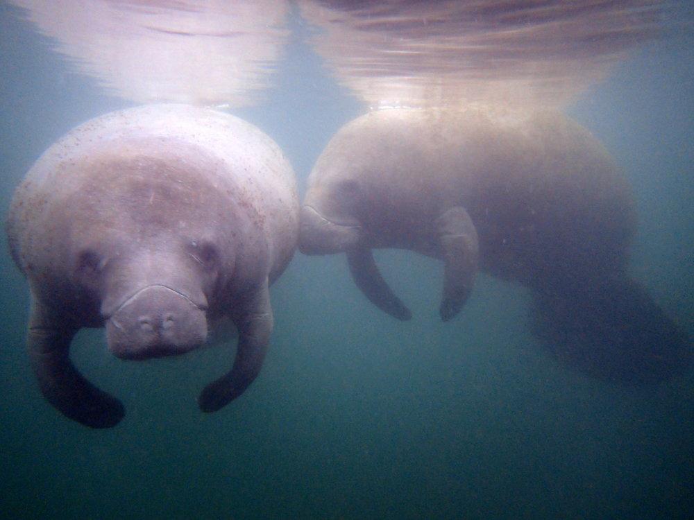 summer manatee swim river ventures