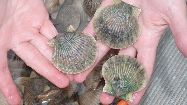Bay scallop season in Florida.(Photo: Flikr/FWC Fish and Wildlife Research Institute)