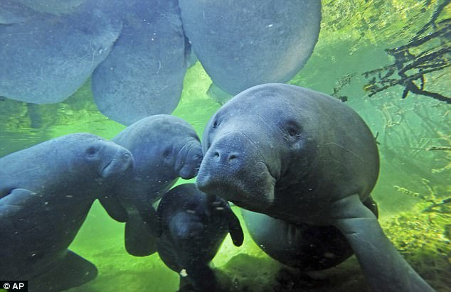 The manatees gathered together at Three Sisters Springs in Crystal Riverm about 75 miles from Tampa