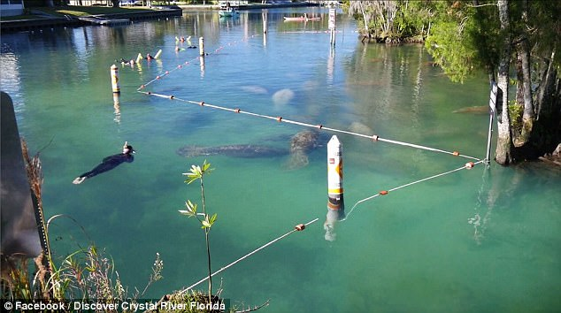 As air temperatures dipped below 30 degrees Fahrenheit at dawn on Monday, the waters where the manatees had gathered was a comfortable 73 degrees