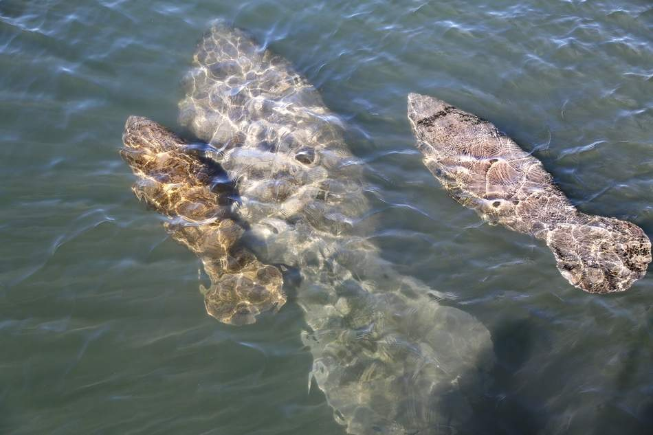 A manatee cow and two calves swim off King's Bay close to where volunteers and staff members with various agencies worked with the United States Geological Survey during their annual manatee captures and health assessments program at the Crystal River National Wildlife Refuge on Jan. 31, 2018. The research is being conducted under permit by USGS, FFWCC, and USFWS. The manatees were captured using land-based nets and manatee handling and restraint techniques, and were assessed by veterinarians and medical researchers who obtained all relative data about each animal before its release. [DOUGLAS R. CLIFFORD | Times]