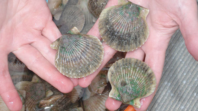 Bay scallop season in Florida. (Photo: Flikr/FWC Fish and Wildlife Research Institute)