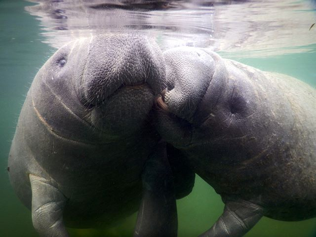 Kissy kissy!! It you have never had a manatee kiss, you don't know what you're missing!!