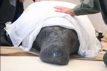 Illya the manatee became quite popular after he traveled all the way to New Jersey back in October 2009. Eventually he was rescued and taken back to Miami.