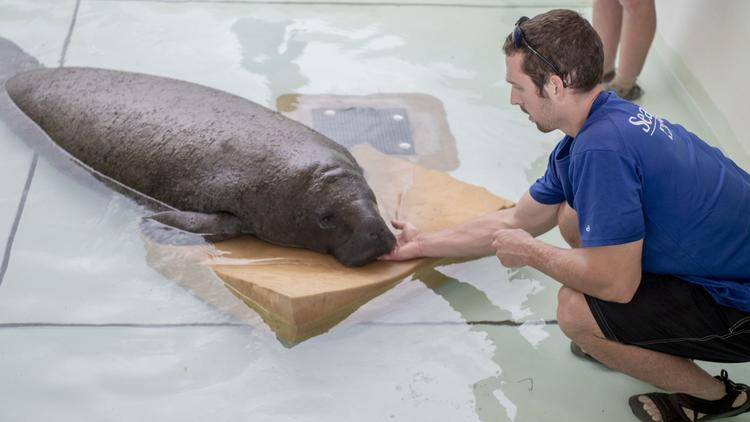 John Picard, a SeaWorld animal care specialist, makes sure the manatee can breathe since it is unable to rise to the surface. The team at SeaWorld Orlando works around-the-clock to care for rescued animals. (Courtesy of SeaWorld Orlando)