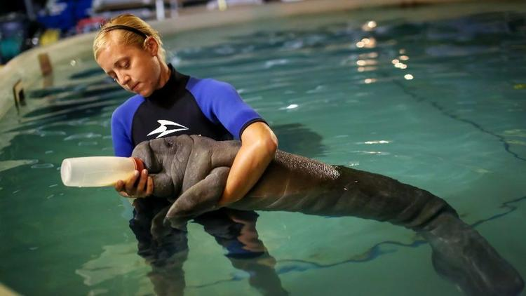 Jennifer Parnell, 32, an animal rescue specialist who has worked at SeaWorld Orlando since 2010, needs a 8 p.m. bedtime and an energy drink before she starts her 3 a.m. shift. She gently bottle feeds an orphaned baby manatee that needs a bottle every three hours. (Jacob Langston/Orlando Sentinel)