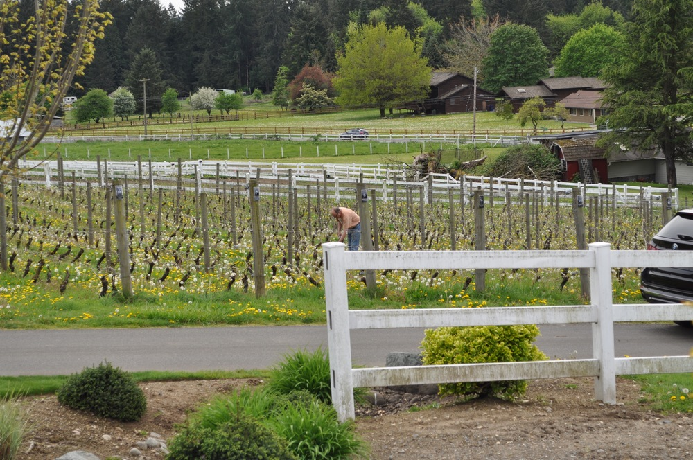 Acres of vineyards in Woodinville.