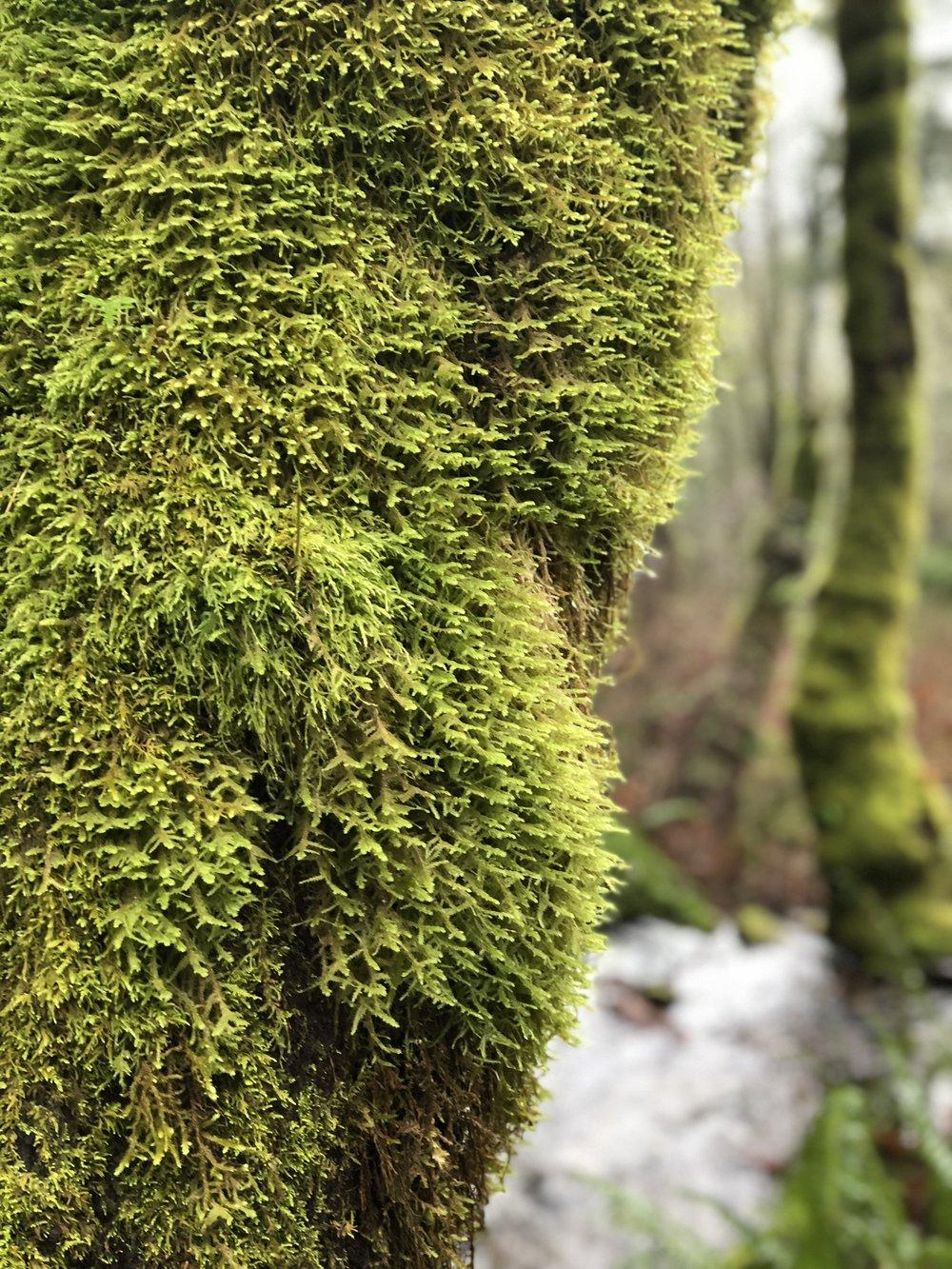 Little Si Moss