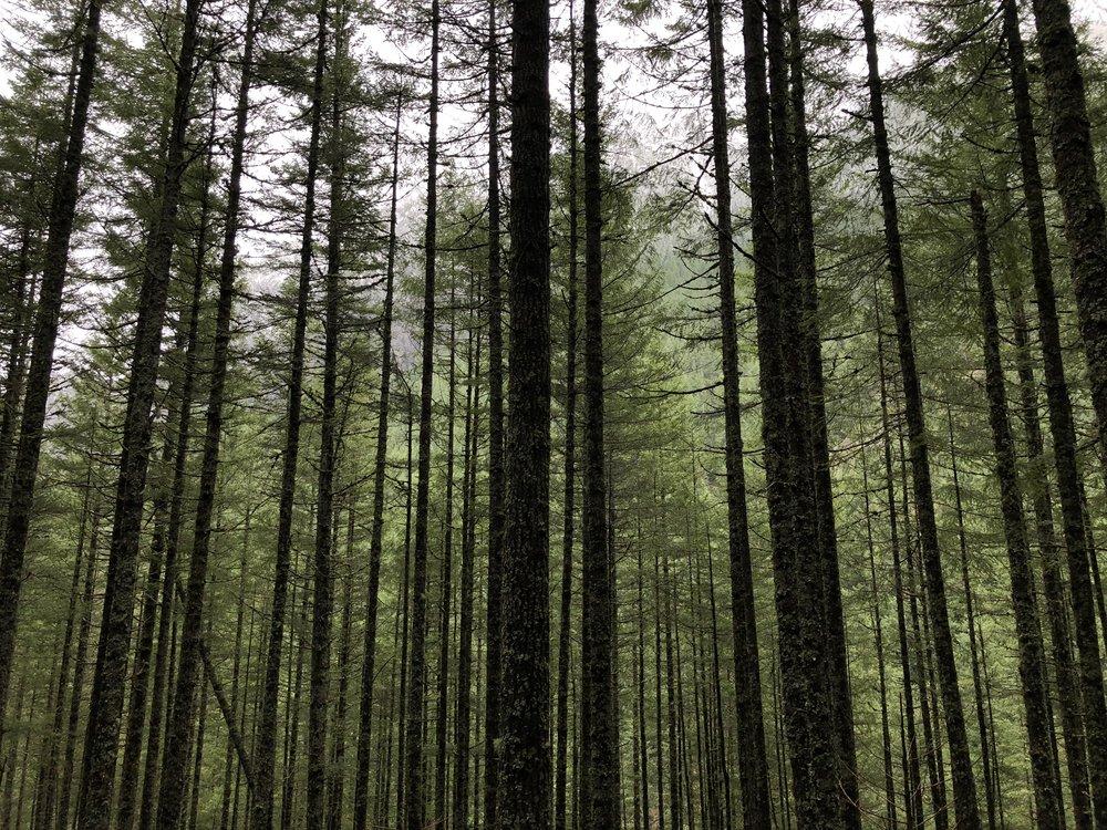 Trees Mount Si