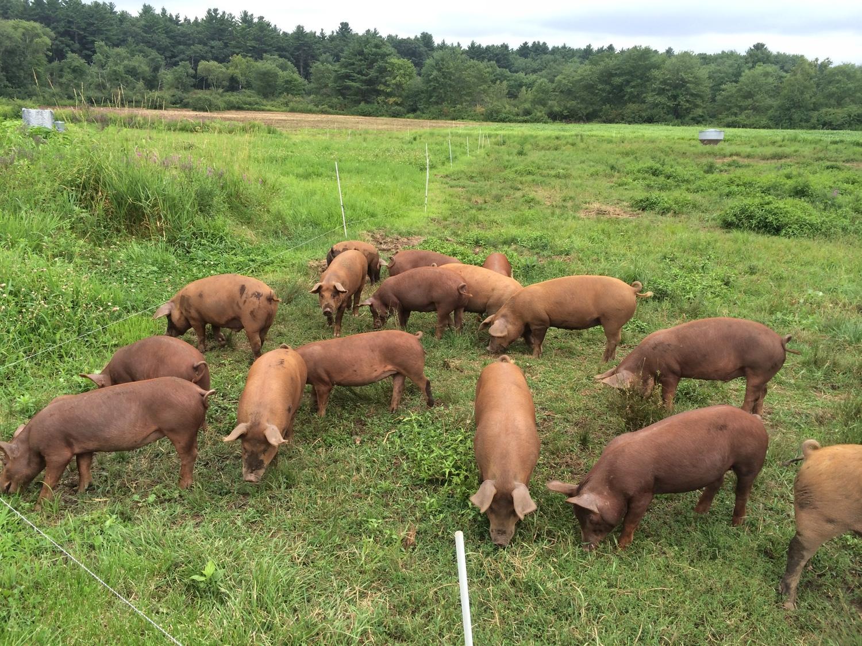 our pigs u2014 codman community farms with pete u0026 jen u0027s backyard birds