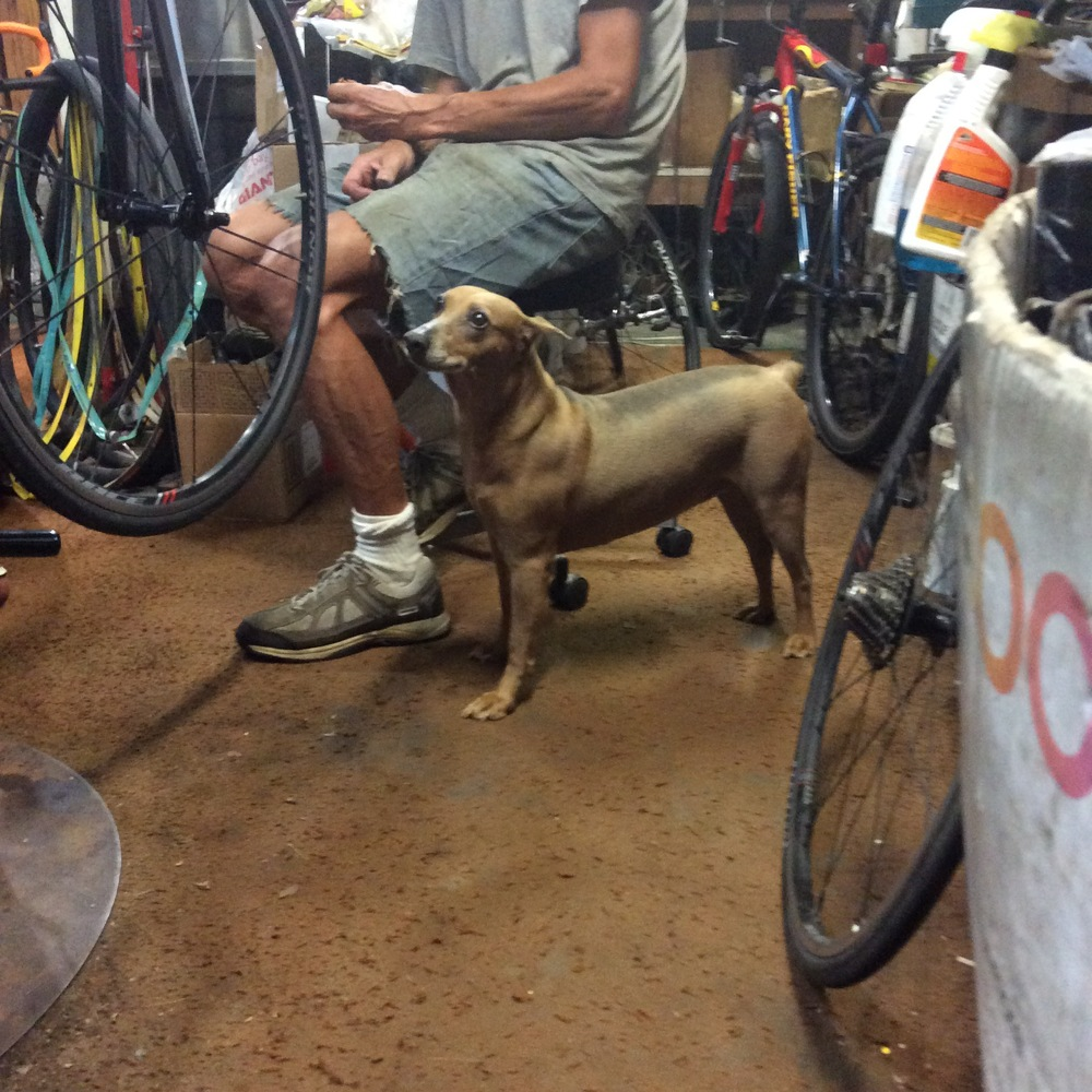 Lotus, the resident shop dog.