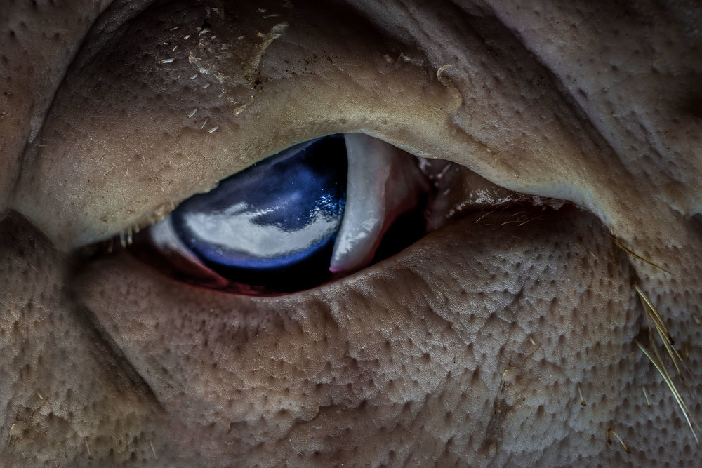 pig-eye-with-skin.jpg