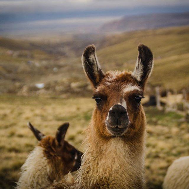 Альпака и лам разводят в разных странах. Мы встречали упоминания о семейных фермах в Израиле, Канаде, Польше и под Москвой. Важно понимать, что условия жизни животных напрямую влияют на качество шерсти. Родина этих домашних питомцев - латиноамериканские Анды, особенные климатические условия которых обусловили самые главные свойства этой шерсти - способность регулировать тепло и обладать исключительной мягкостью. Именно в этих условиях резкого холода и прямых солнечных лучей на большой высоте альпака производит редкого качества волокно. Кроме того, нужно учитывать определённые техники стрижки: разные части альпака дают разного типа шерсть. И, самое главное, на родине в их распоряжении бесконечные горные холмы  без каких либо физических ограничений и большое поголовье себе подобных. Это стадные животные, которые всегда держатся друг друга и беспокоятся при приближении людей. Погладить альпака, если она не приручена, почти не возможно. Мы создаём все  изделия в сбалансированных и максимально комфортных условиях жизни альпака, чтобы быть уверенными в истинных свойствах этой редкой шерсти. #abrazame #abrazame_about_bolivia #альпака #alpaca #warmthofbolivianandes #qualitywool #andesmountains #animalphotography