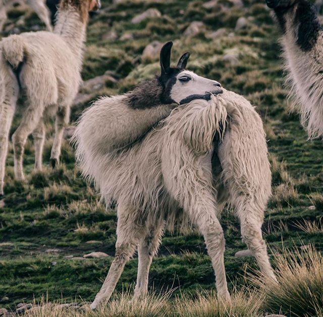 Альпака и ламы - исторически домашние животные. 🐫🐫 Так, например, предком альпака является викунья, а ламы — гуанако. При этом если скрестить альпака и ламу, то получится уарисо, но это животное не имеет сильной спины и такого шерстяного покрова, как у своих родителей. Полагаем, сильная спина - это когда достаёшь носом до копчика) задание ни выходные! 🙃#alpaca #llama #llamas #llamallama #llamasofinstagram #llamalover #animals #animalplanet #animalphotography #animalphoto #wildwood #nature #bolivia #bolivianandes #abrazame #лама #альпака
