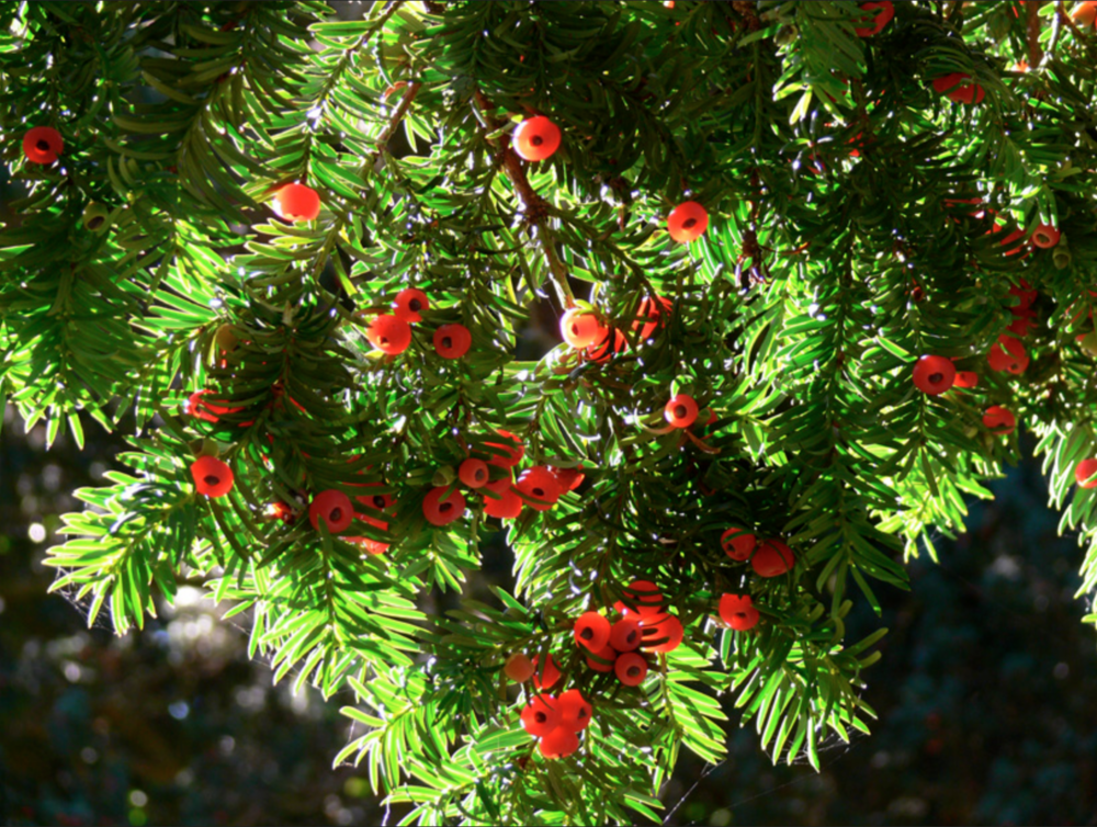 Yew Seed Pods