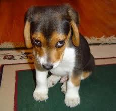 shamed puppy