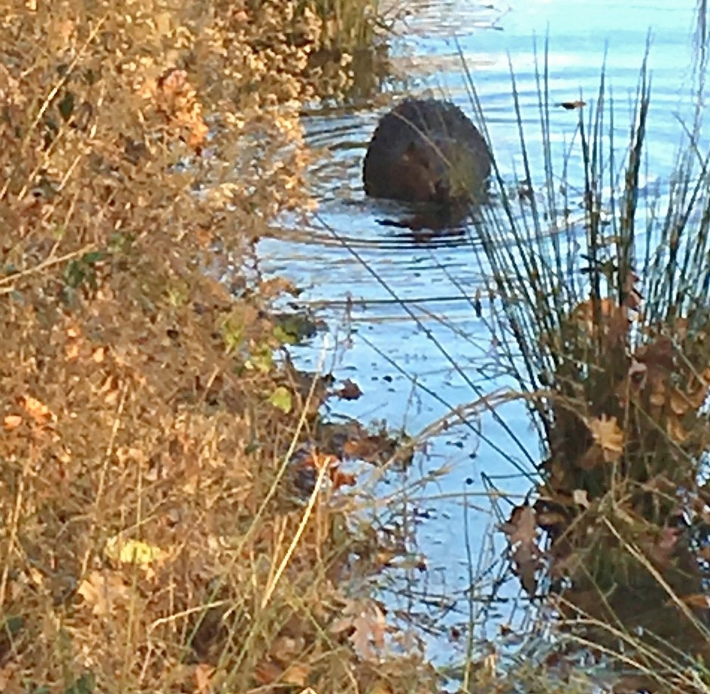 A beaver at Talley-Day Park!