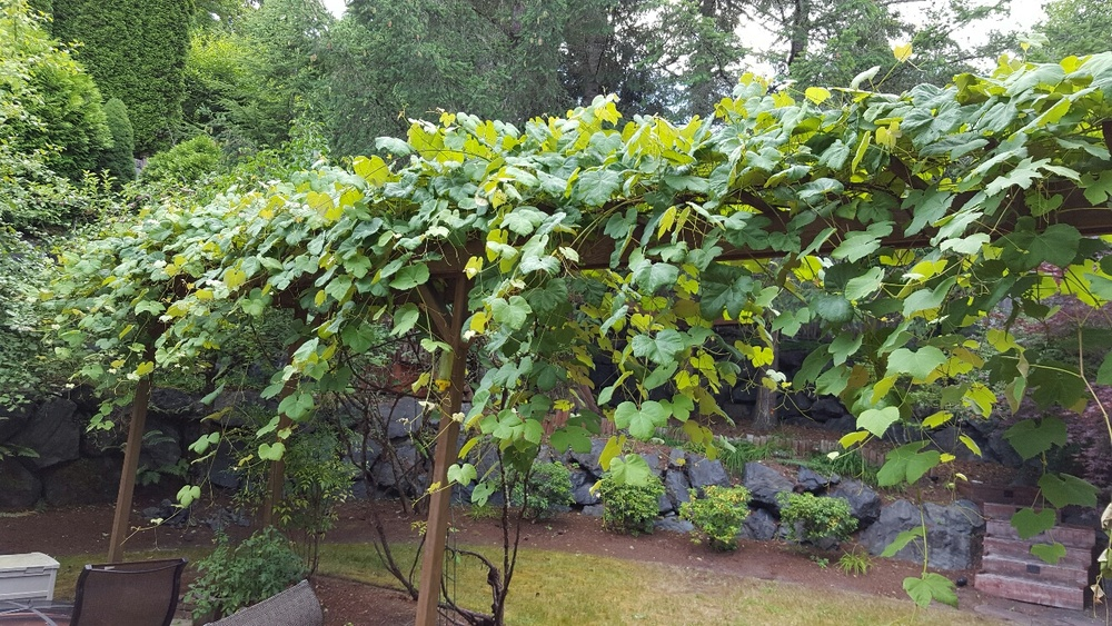 The grape vines are growing well.