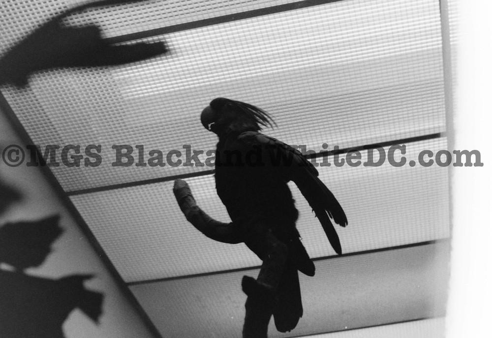 BirdCockDC2002.jpg