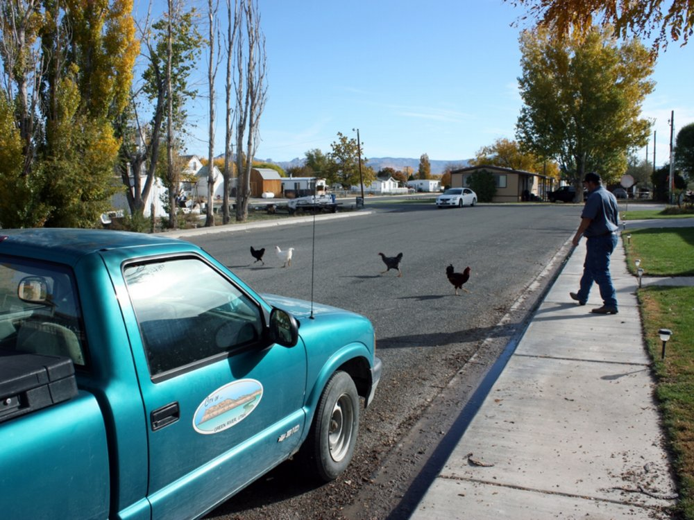 City Code Enforcement Manager C.J. Vetere herds chickens off a neighbor's lawn
