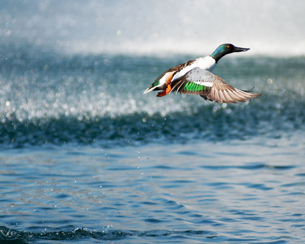 DuckColorfulFlight (1 of 1).jpg