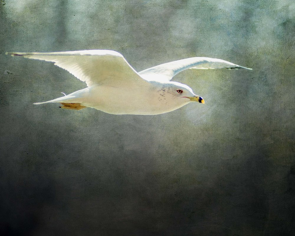 Gull2 (1 of 1).jpg