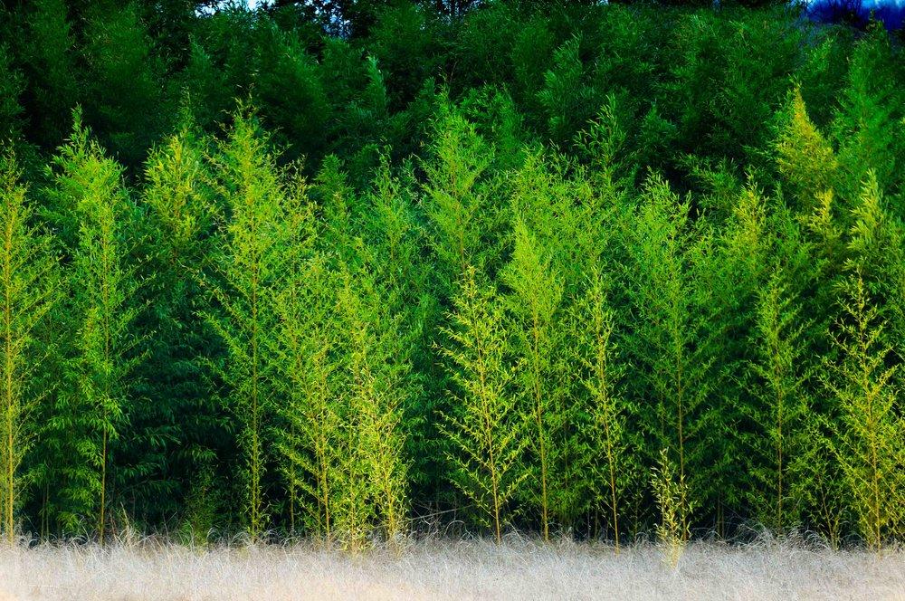 TreesSherman.jpg
