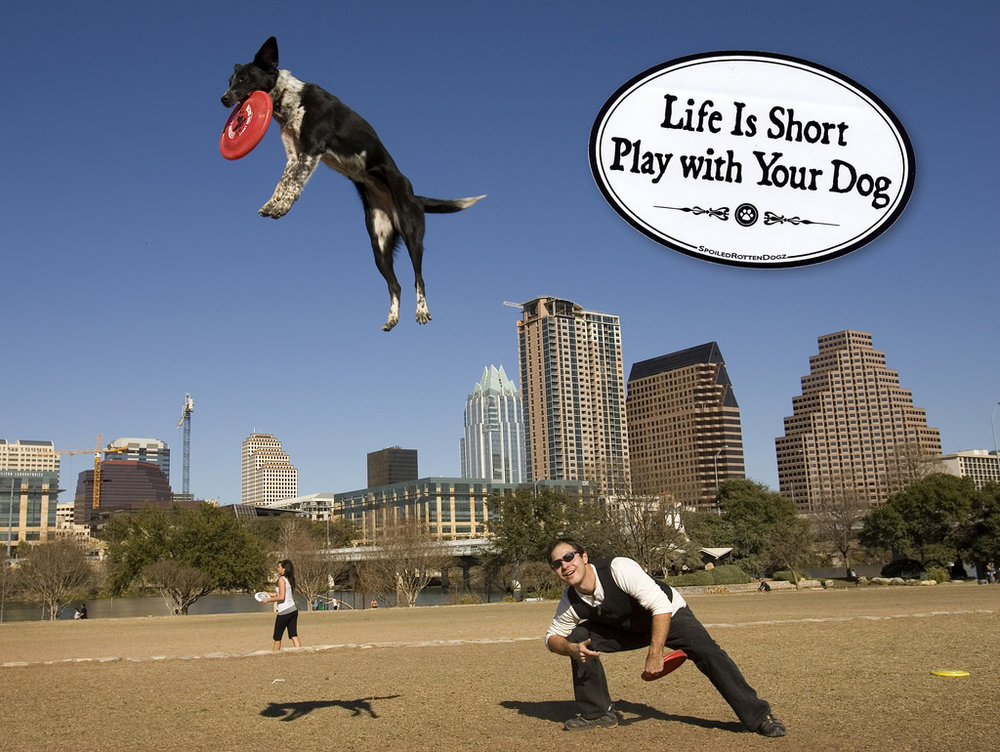 24/09 -  Jay Janner/AMERICAN-STATESMAN -  Chris Perondi and his Australian cattle dog Flashy Ferrari practice some tricks at Auditorium Shores on Wednesday Feb. 4, 2009.  Perondi is a professional entertainer with his stunt dogs.