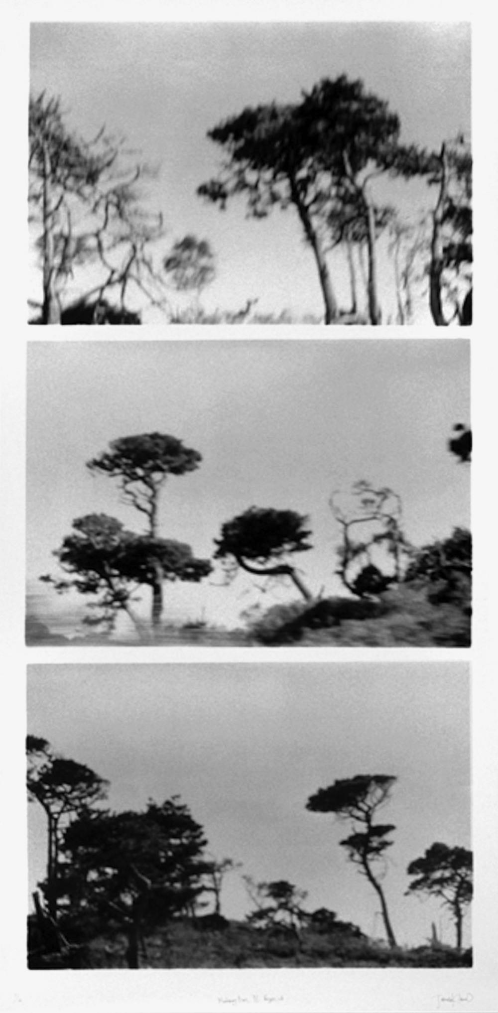 Monterey Pines, Pt. Reyes, CA