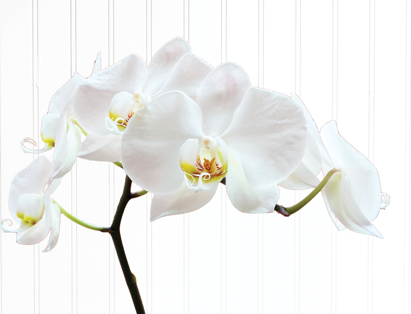 Visit our houseplant greenhouse for beautiful live plants, including orchids. Receive a FREE orchid when you Buy a $50 gift card Feb. 1st–14th.