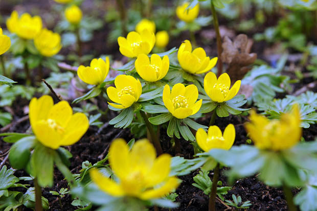 Hardiness: Zones 4–9 •Perennial Bulb (plant in fall)•Full Sun–Part Sun