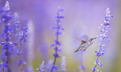 hummingbird-plants-prairie-gardens-salvia