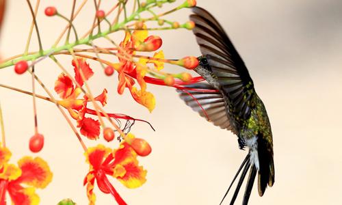 hummingbird-plants