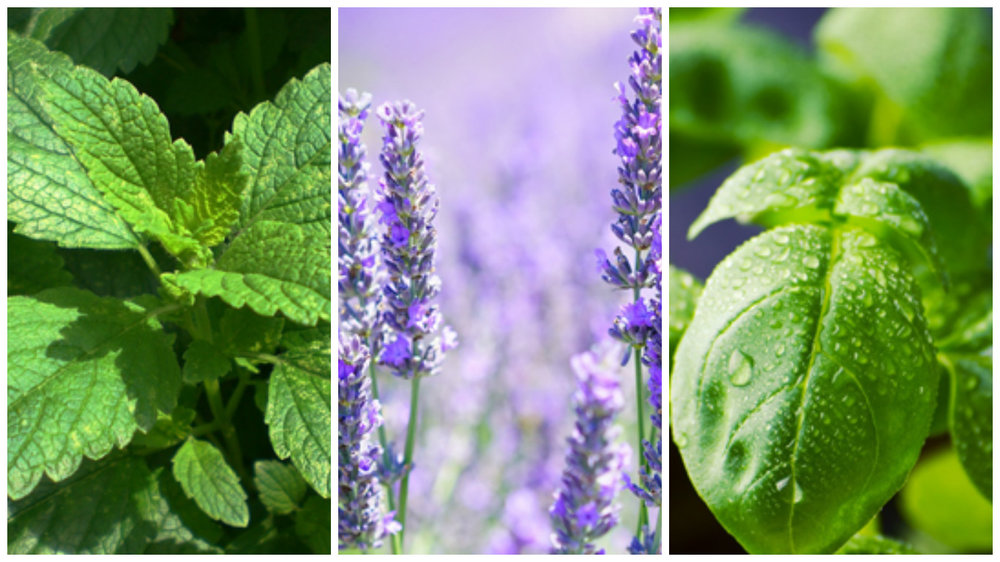 10-plants-to-repel-mosquitos