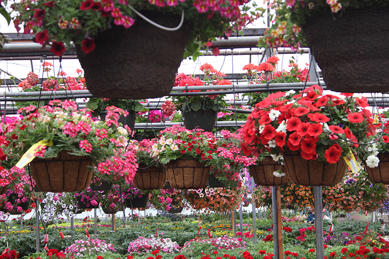 All Hanging baskets are 25% off at Prairie Garden in Champaign, IL.